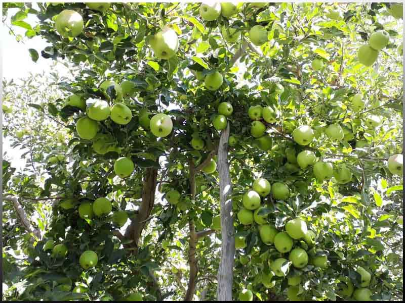 سیب از معروف ترین میوه های دماوند تهران