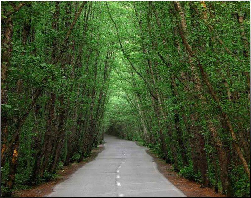 درختان سر به فلک کشیده جنگل گیسوم