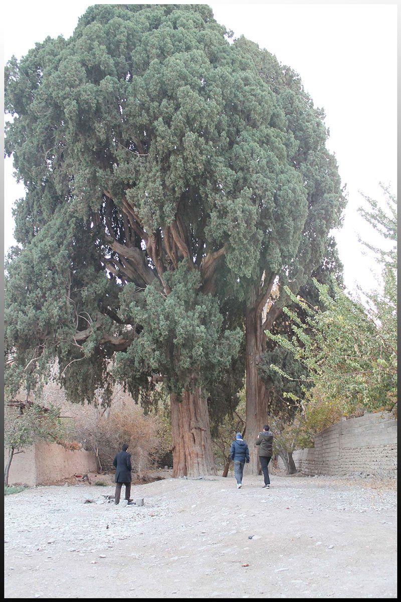 درخت چنار قدیمی در روستای سیرچ کرمان