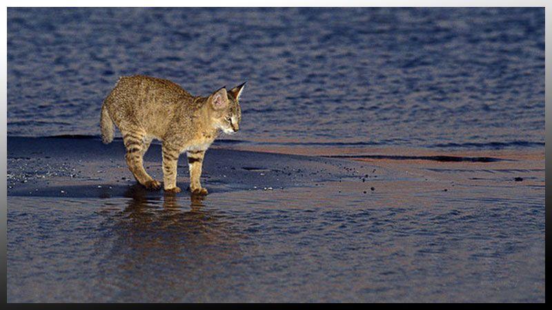 گربه وحشی روستای صراخیه